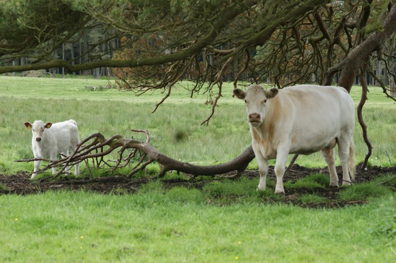 White cow and calf