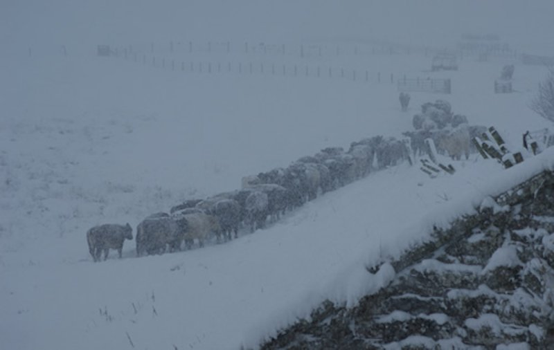 Cows in the snow 1