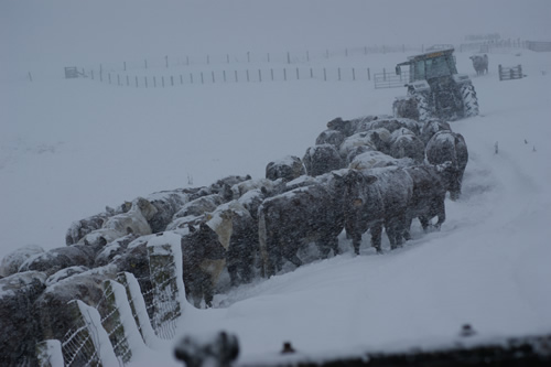 Cows in the snow 2