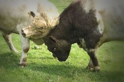 Bulls will be bulls