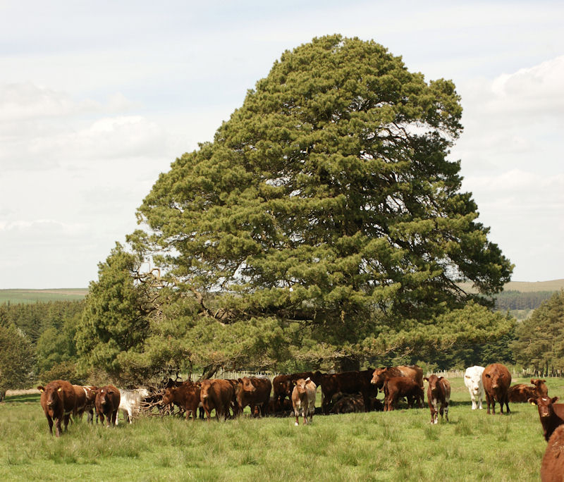 Scots Pine shade