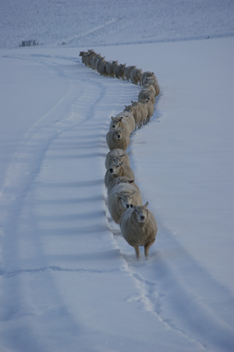 Ewes in the snow