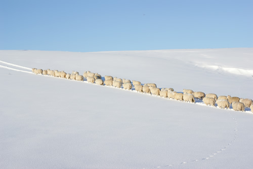 hoggs in the snow