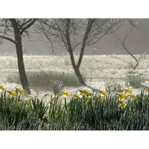 Narcissus in the Mist