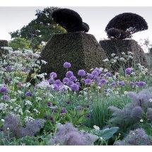 Alliums in the Peacock Garden