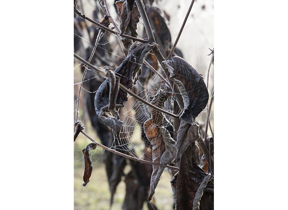 Cobweb on Inula magnifica