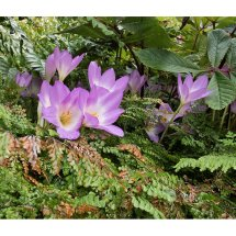 Colchicums in the Ferns