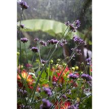 Verbena bonariensis in rain