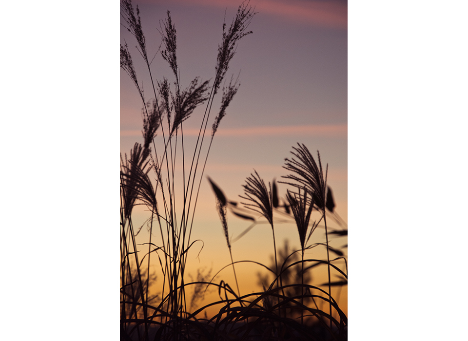 Grasses in evening sky