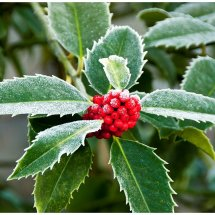 Ilex x koehneana leaves and berries