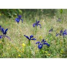 Iris latifolia in the grasses