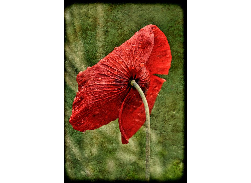 Red Poppy with raindrops