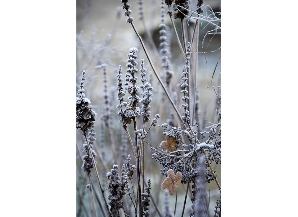 Seedheads with frost