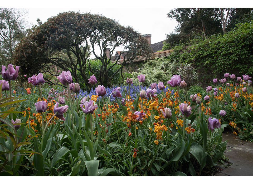 Tulip 'Blue Parrot' in rain