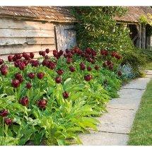 A display of Tulipa 'National Velvet'