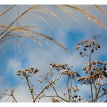 Umbellifers and Grasses