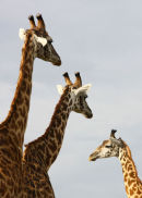 Giraffe, Maasai Mara