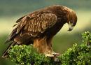 Tawny Eagle, Maasai Mara