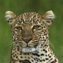 Leopard, Maasai Mara