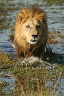Male Lion, Okavango Delta