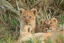 Lion cubs, Okavango Delta