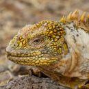 Land iguana close up
