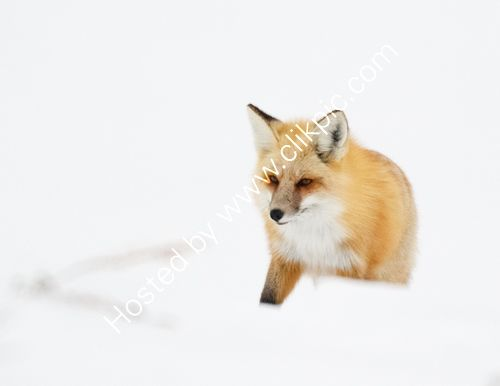 Red fox hunting in the snow
