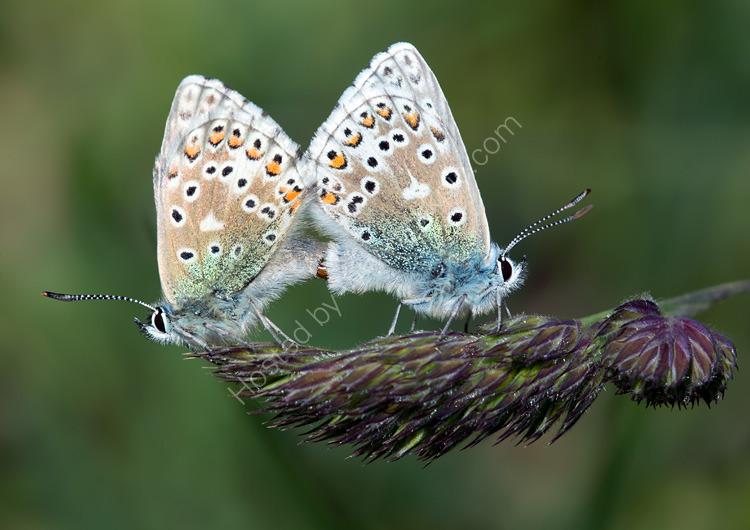 Adonis blue mating