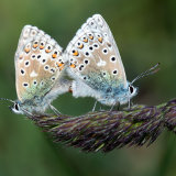 Adonis blue mating
