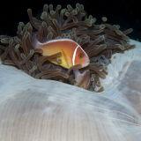 Anaemone fish in cushion