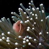 Anaenome fish