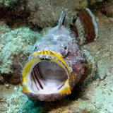 Angry Devil Scorpion fish