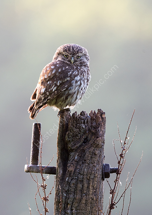 Angry little owl