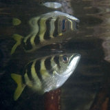 Archer fish on the surface