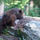 Baby brown bear asleep