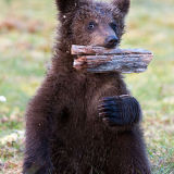 Baby brown bear playing