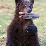 Baby brown bear playing