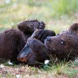 Baby brown bear with wood
