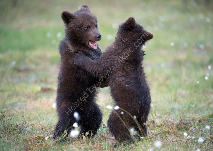 Baby brown bears playing