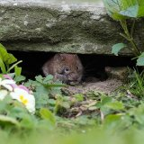 Bank vole eating