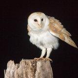 Barn owl shaking
