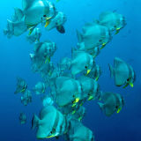 Bat fish in blue water