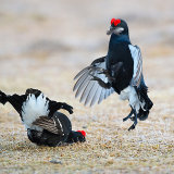 Black grouse fighting