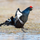Black grouse seeking attention