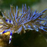Blue Dragon Nudibranch NSW