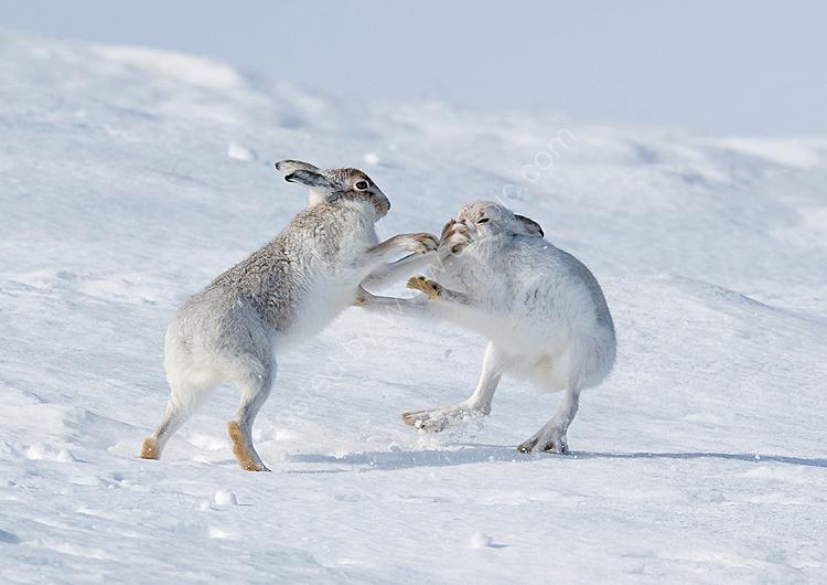 Boxing mountain hares 2