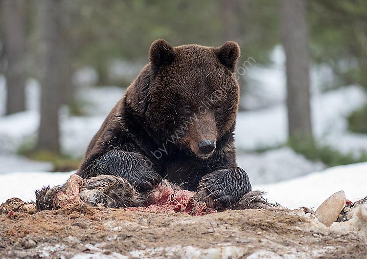 Brown bear on kill