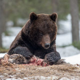 Brown bear on kill