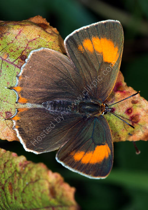 Brown hairstreak femle open