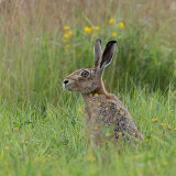 Buttercup hare